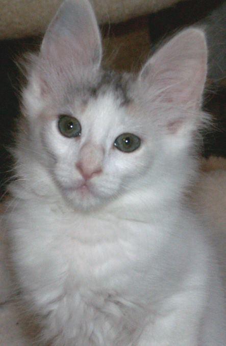 How Much Is A Cat >> Dschadi's Türkisch Angora Kätzchen - Kitten
