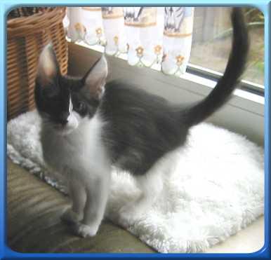 Riff Raff Kitten